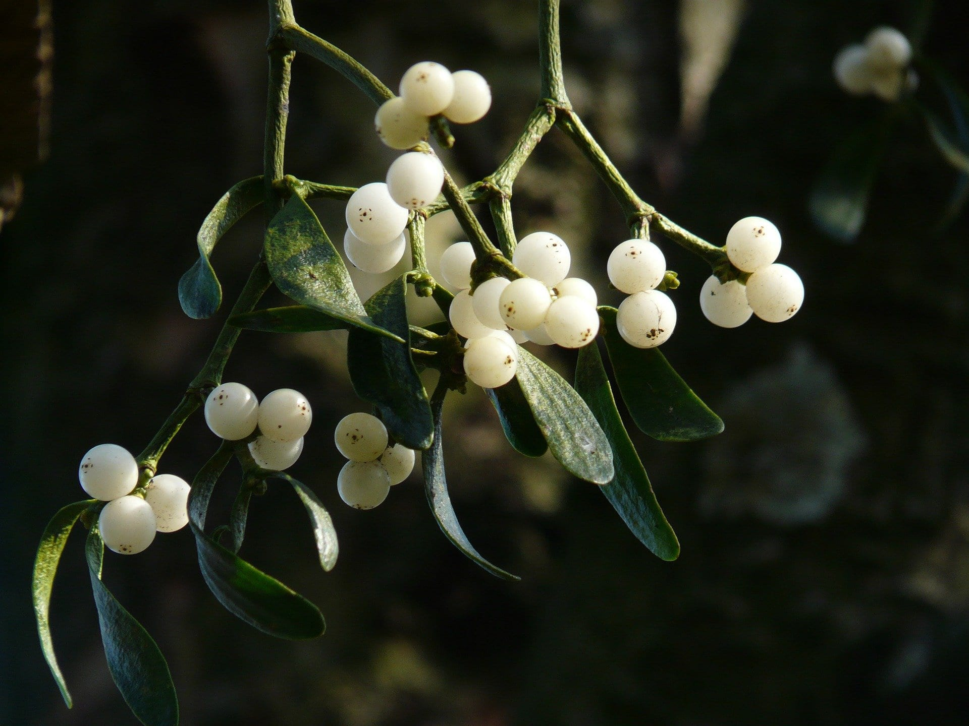 Mistletoe therapy may be effective against breast cancer